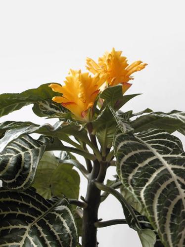 Cuidado de la planta cebra - Cómo cultivar la Aphelandra Squarrosa
