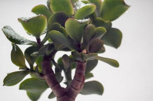 Cuidado de la planta de jade: Guía completa para el cultivo de la Crassula Ovata