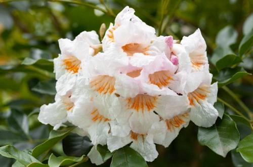 Cuidado de la planta de la muñeca de China (Radermachera sinica)