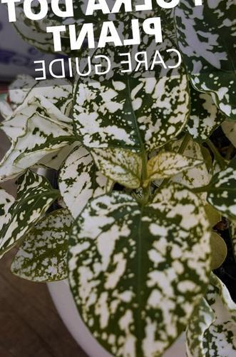 Cuidado de la planta de lunares - Hypoestes Phyllostachya