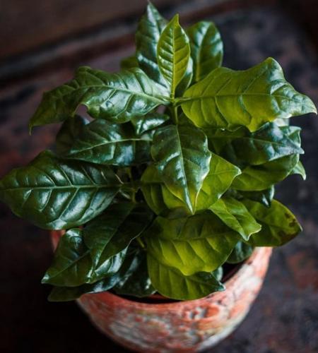 Cuidado de la planta del café en interiores (Coffea arabica)
