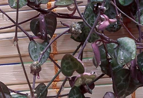 Cuidado de la planta String Of Hearts (Ceropegia woodii)