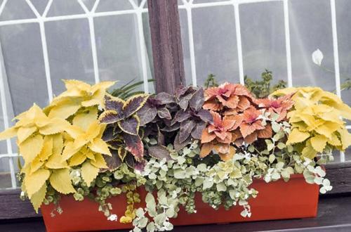 Cuidado de los Coleos en interior: Cómo cultivar Solenostemon