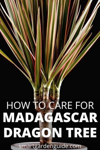 Cuidado del árbol del dragón de Madagascar - Dracaena Marginata