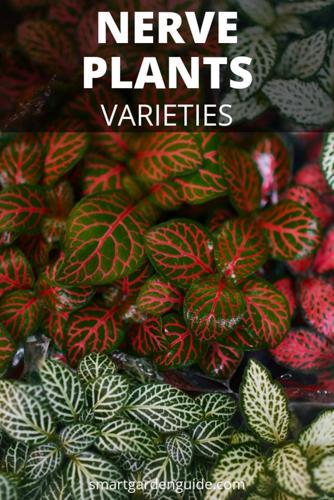 Cuidado y cultivo de las Fittonia o Planta nerviosa