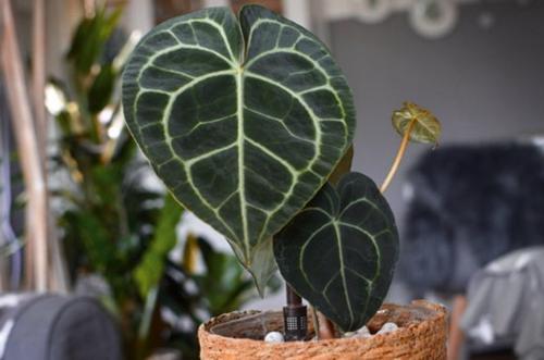 Cuidados de Anthurium clarinervium (La guía completa)