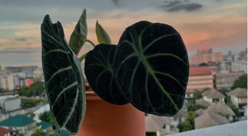 Cuidados de la Alocasia Black Velvet (Alocasia Reginula)