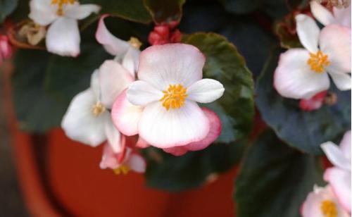 Cuidados de la begonia de cera (Begonia semperflorens)
