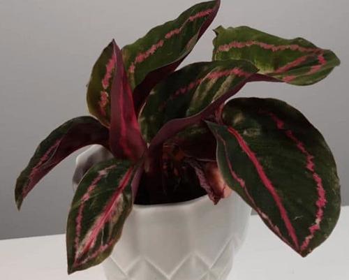 Cuidados de la Calathea Roseopicta