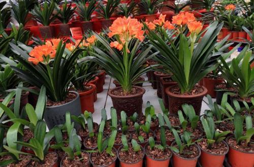 Cuidados de la Clivia - Cómo cultivar un lirio kaffir