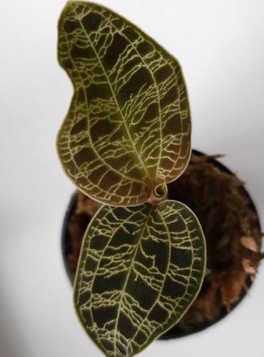 Cuidados de la Macodes Petola - Cómo cultivar una orquídea terrestre