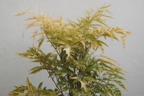 Cuidados de la Ming Aralia - Cómo cultivar Polyscias Fruticosa
