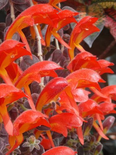 Cuidados de la planta Goldfish (Columnea Gloriosa)