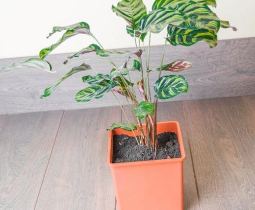 Cuidados de la planta pavo real - Cómo cuidar la Calathea Makoyana