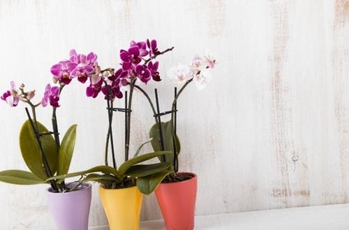 Cuidados de las orquídeas Phalaenopsis para principiantes (Guía fácil)