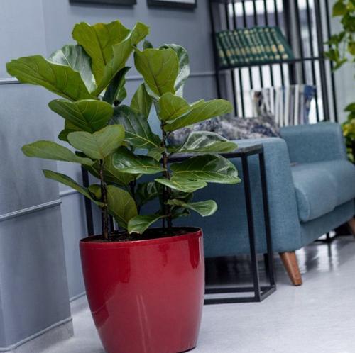 Cuidados del Ficus Audrey (Ficus benghalensis)