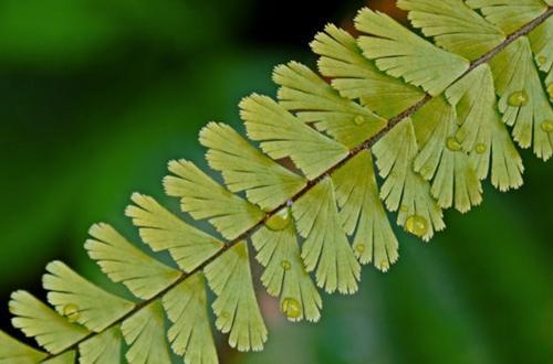 Cuidados del helecho pelo de venus: Cómo cultivar Adiantum