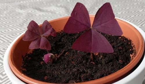 Cuidados del Oxalis Triangularis - Cómo cultivar el trébol púrpura