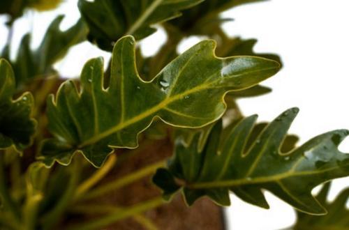 Cuidados del Philodendron Xanadu (Thaumatophyllum Xanadu)