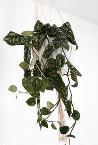 Cuidados del pothos satinado - Cómo cultivar el Scindapsus Pictus