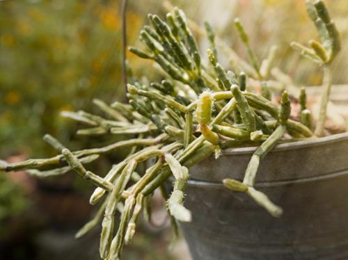 Cuidados del Rhipsalis - Cómo cultivar el cactus muérdago
