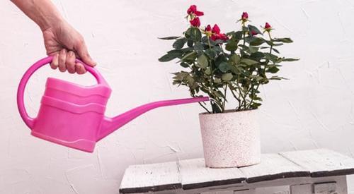 Cultivo de rosas miniatura en interiores (mis consejos secretos)