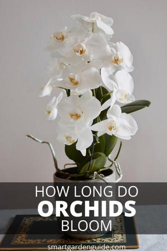 ¿En cuánto tiempo florecen las orquídeas?