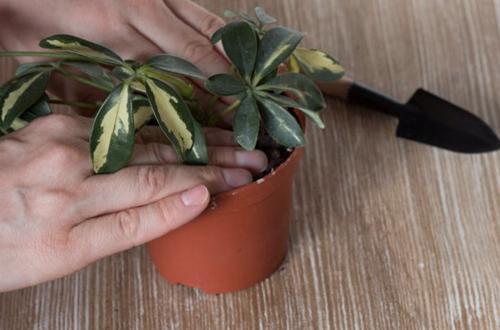 Guía de propagación de la planta paraguas (con imágenes)
