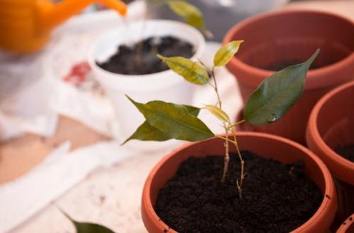 Guía de reproducción de la higuera llorona (Ficus Benjamina)