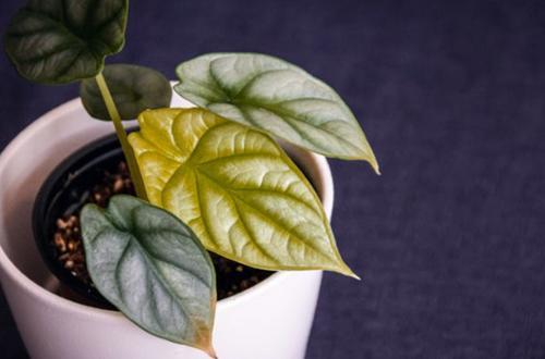Las hojas de Alocasia se vuelven amarillas (causas y soluciones)