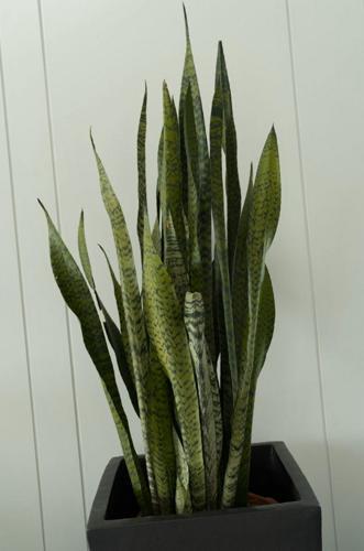 Las hojas de la planta de la serpiente se rizan (causas y soluciones)