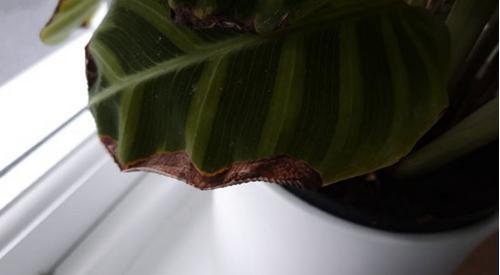 ¿Por qué las hojas de las plantas de interior se vuelven marrones? (Y 7 soluciones)