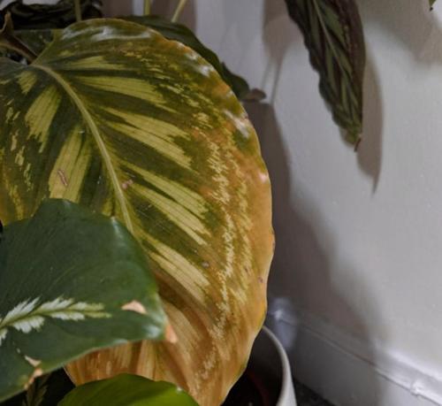 ¿Por qué las hojas de mi calathea se vuelven amarillas?