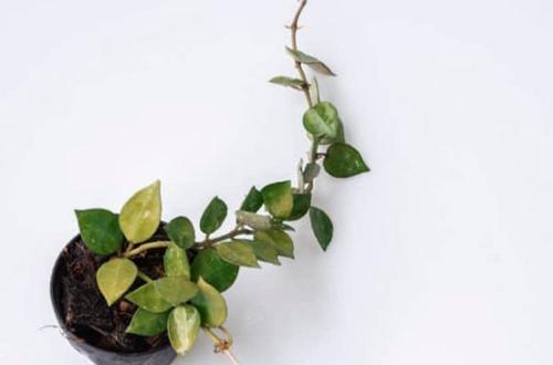 ¿Por qué las hojas de mi Hoya se vuelven amarillas? (Soluciones fáciles)