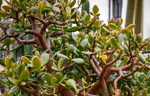¿Por qué las hojas de mi planta de jade se están volviendo amarillas?