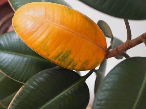 ¿Por qué las hojas de mi planta del caucho se vuelven amarillas?