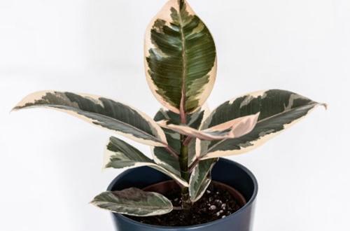 ¿Por qué las hojas de mi planta del caucho se vuelven marrones?
