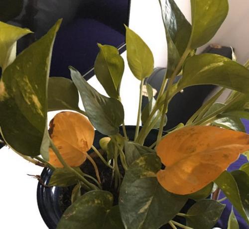 ¿Por qué las hojas de mi Pothos se vuelven amarillas? (y cómo solucionarlo)