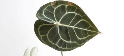 ¿Por qué mi anturio tiene hojas marrones? (Soluciones)