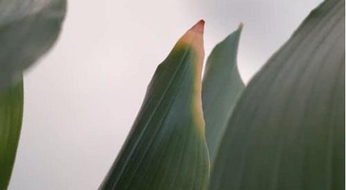 ¿Por qué mi Aspidistra tiene hojas marrones? (Planta de hierro fundido)