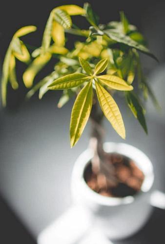 ¿Por qué mi Pachira aquatica tiene las hojas amarillas?
