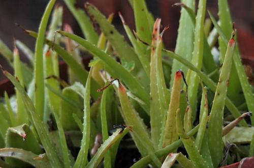 ¿Por qué mi planta de Aloe se vuelve roja?