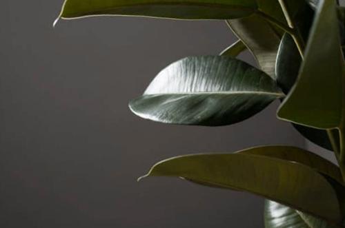 ¿Por qué mi planta de caucho está perdiendo hojas?