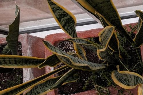¿Por qué mi planta de la serpiente tiene las puntas marrones?