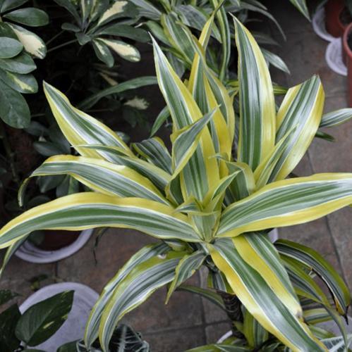 ¿Por qué mi planta Palo de agua tiene las puntas marrones (Dracaena Fragrans)?