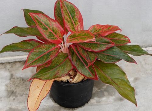 ¿Por qué mi planta perenne china tiene hojas amarillas?