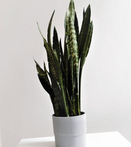 ¿Por qué no crece mi planta de la serpiente? (7 soluciones fáciles)