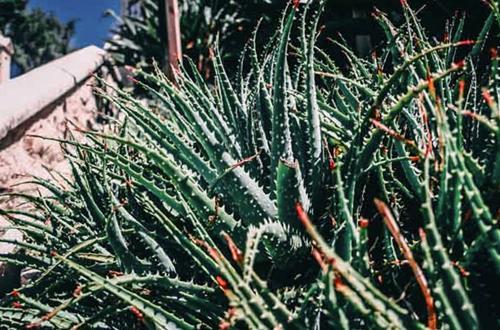 ¿Por qué se cae mi planta de aloe? 9 causas y soluciones