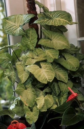 ¿Por qué se está cayendo mi Syngonium Podophyllum? (Causas y soluciones)