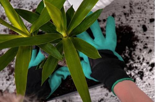 ¿Por qué se está muriendo mi planta de yuca? (y cómo solucionarlo)